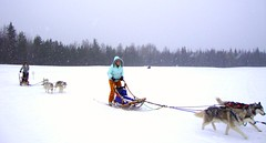 dog, vehicle, mushing, dog sled, land vehicle, sled dog racing, sled,