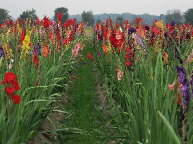 Gladiolen Flickr Photo Sharing