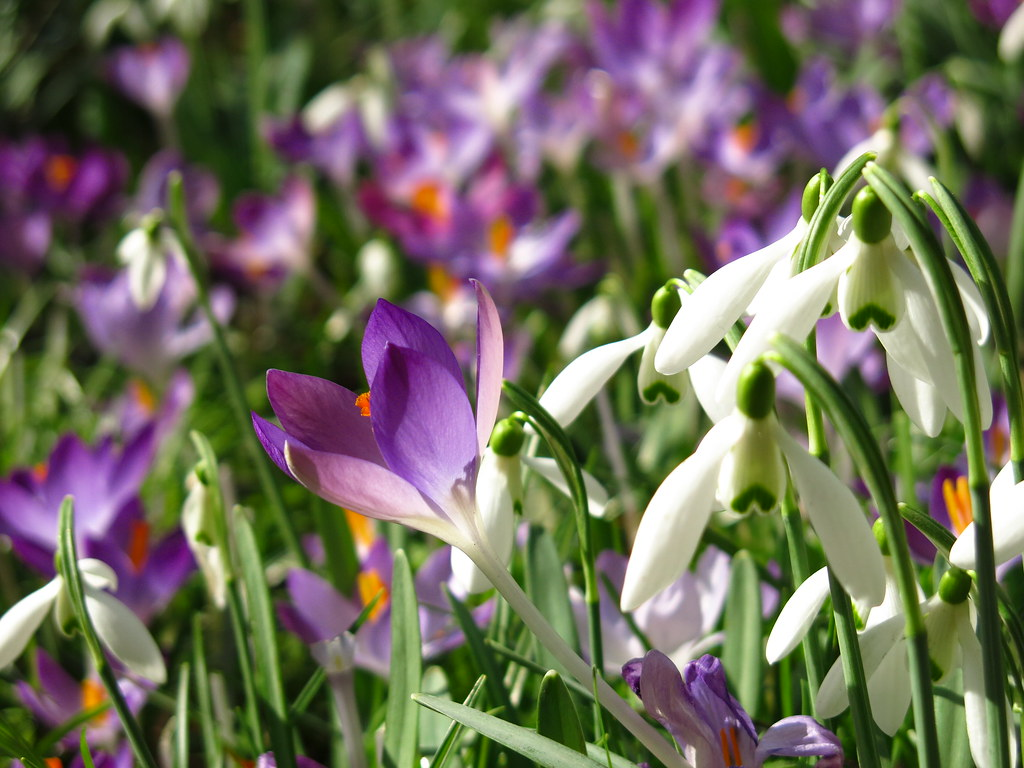 Snowdrops and Crocuses at Myddelton House Gardens