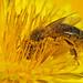 Pollen by nutmeg66
