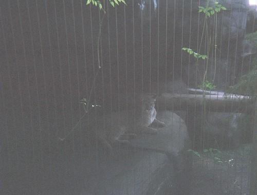 Memphis Zoo - cougar