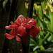 The wild Red Torch Ginger