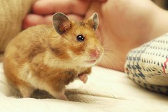 Hammy the New Year's miracle hamster
