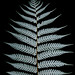 silver fern - Photo (c) Brian Gratwicke, some rights reserved (CC BY)