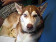 native american indian dog(0.0), dog breed(1.0), animal(1.0), west siberian laika(1.0), dog(1.0), miniature siberian husky(1.0), alaskan klee kai(1.0), siberian husky(1.0), pet(1.0), east siberian laika(1.0), tamaskan dog(1.0), greenland dog(1.0), northern inuit dog(1.0), wolfdog(1.0), saarloos wolfdog(1.0), norwegian lundehund(1.0), sled dog(1.0), carnivoran(1.0),