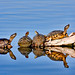 Yellow Mud and Red-eared Turtles by Dean Campbell