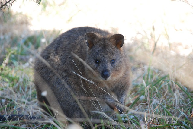 Quokka in the grass on the side of the road.