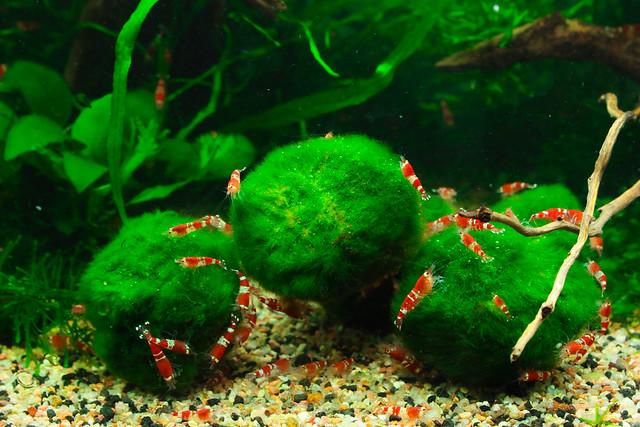 Marimo balls flickr photo sharing for Moss balls for fish tanks