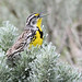 Birds: Blackbirds, Grackles, and Orioles