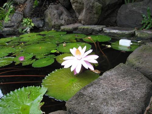 oahu, flower, lotus, lily, pad, koi IMG_0277
