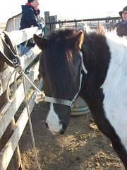 animal, mane, mare, pack animal, horse,