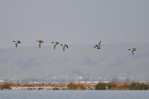 california bird birds sunnyvale duck ducks johnk sooc d5000 sunnyvalewetlandspreserve johnkrzesinski randomok