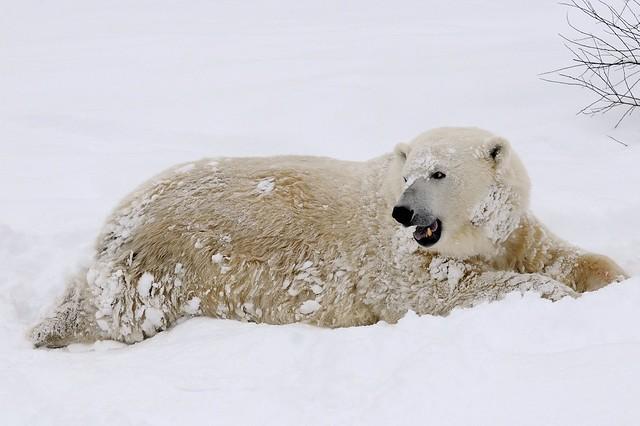 Dsc9283 mercedes the polar bear at rzss highland wildlife for Mercedes benz bear