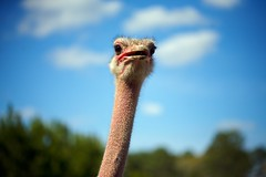 Eyes Out - ostrich image