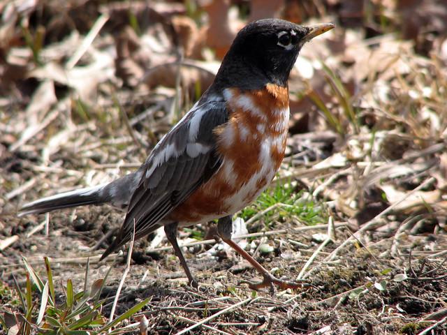 Leucistic Robin 3/3