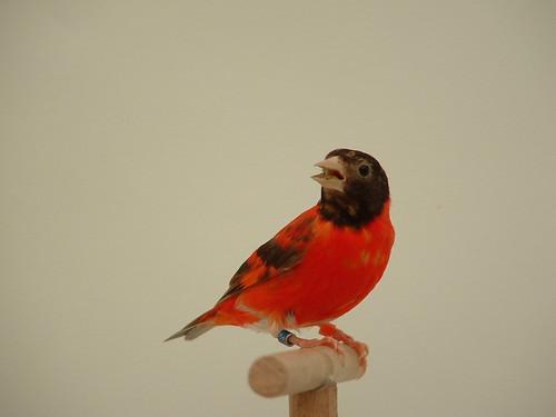 Red Siskin