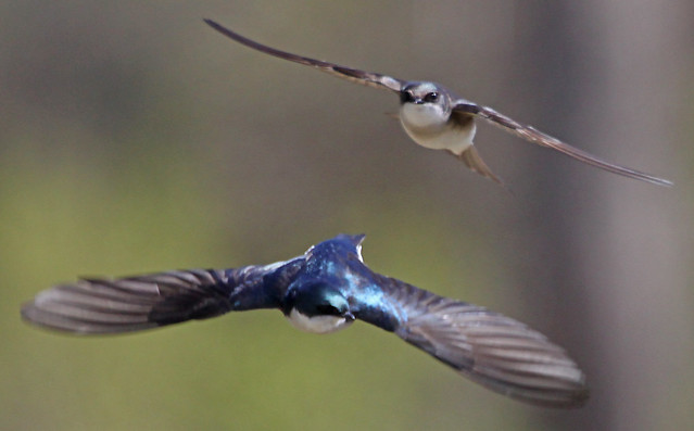 Tree Swallow chase!