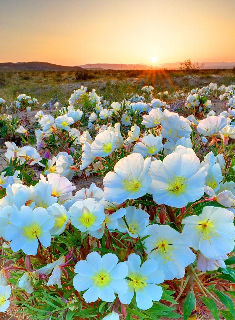 Desert Tissue Spring Flowers Joshua Tree National Park