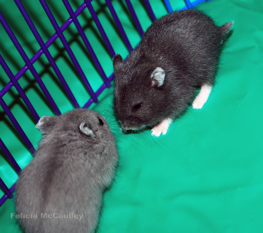 Blue and Black Campbell's Dwarf Hamster sisters - a photo ...  Blue and Black ...