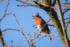 Chant du rouge-gorge (Erithacus rubecula)