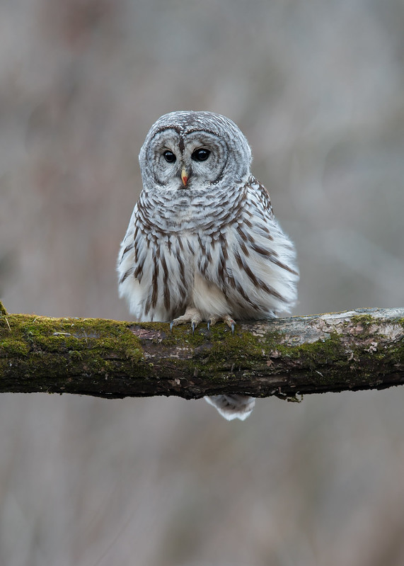 Chouette rayée - Strix varia - Northern Barred Owl