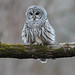 Chouette rayée - Strix varia - Northern Barred Owl by Anthony Fontaine photographe animalier