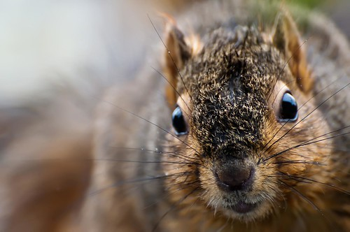Squirrel in the rain - up close