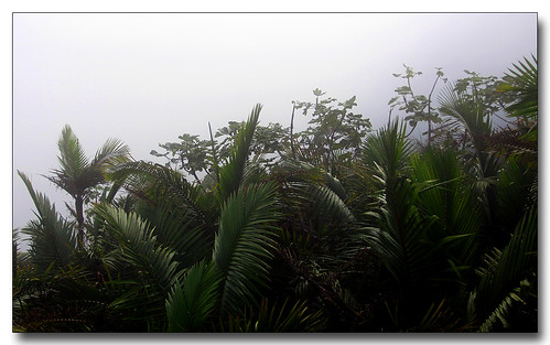 trees misty clouds forest puertorico foliage elyunquerainforest