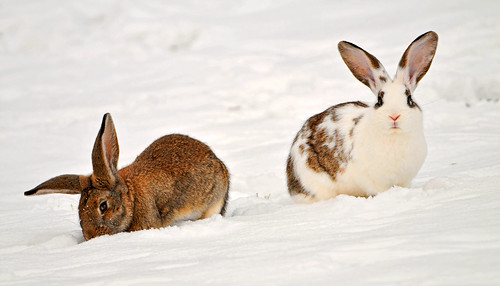 Two rabbits in the snow | by Tambako the Jaguar