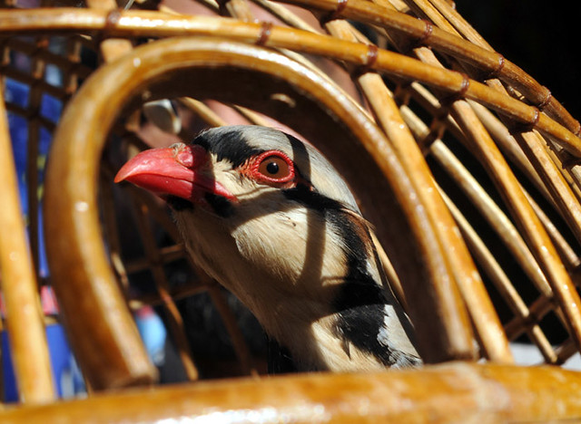 Chakor Bird