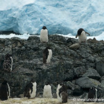 Molting Adelie Penguins - Antarctica