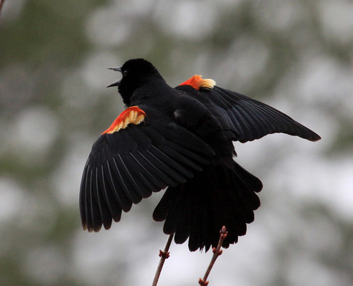 Red-winged Blackbird - detail