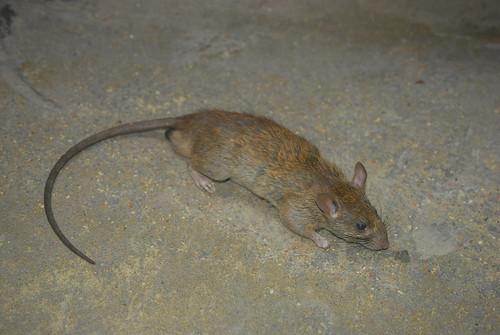 Brown Rat (Rattus norvegicus)  by Samiul Mohsanin