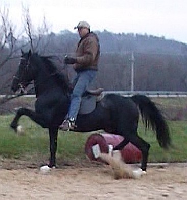 Hackney Horse stallion under saddle