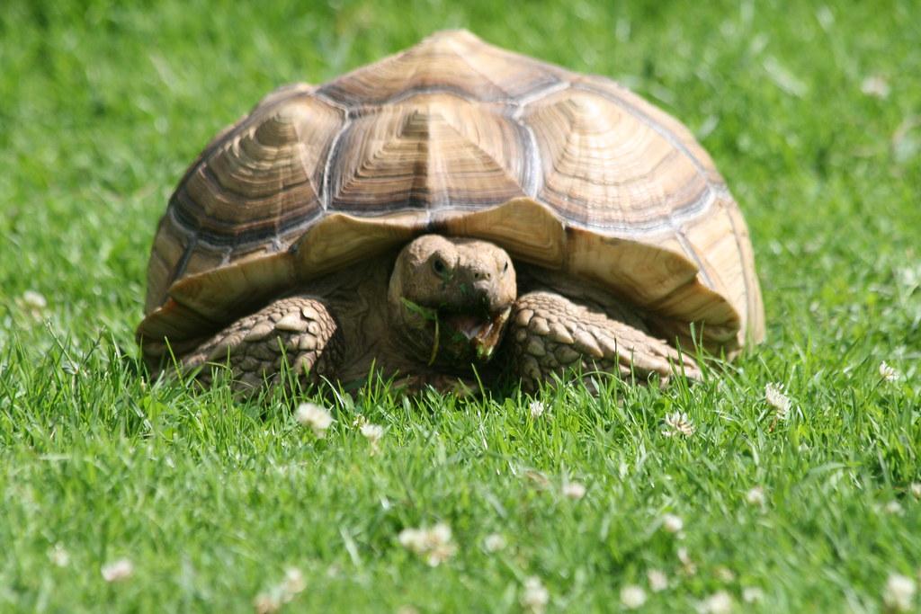 Tortoise, Longleat