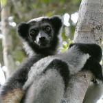 Indri, Mantadia, Madagascar
