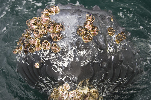 Humpback whale barnacles on tip of Rostrum
