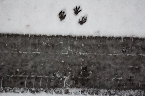 Rabbit footprints
