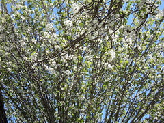 blossom, flower, branch, leaf, tree, sunlight, flora, green, prunus spinosa, spring,