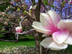 blossom, flower, magnolia, plant, flora, spring,