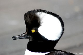 Hooded Merganser ~ Lophodytes cucullatus (male)
