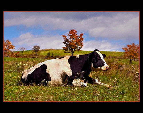 Autumn Cow...thanks Ilona...!
