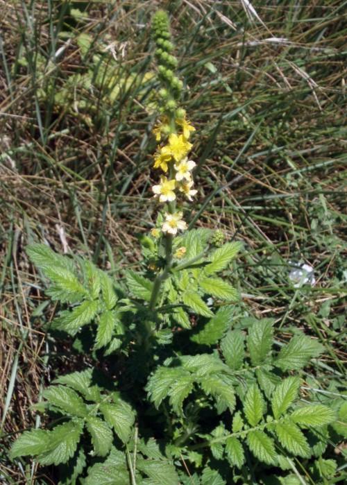 Agrimonia eupatoria 4036091105_e1ca4a9d2c_o