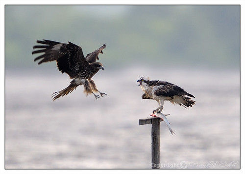 Black-eared Kite 鳶(麻鷹) VS Osprey 魚鷹