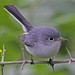 Blue-gray Gnatcatcher - Photo (c) Jerry Oldenettel, some rights reserved (CC BY-NC-SA)