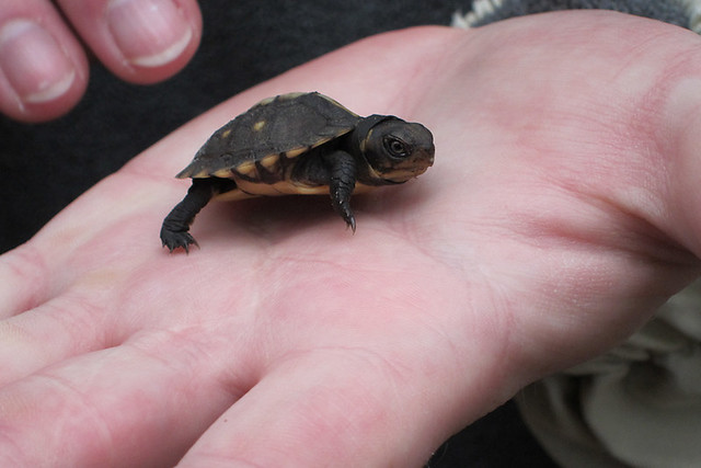 101/365 - Baby Turtle