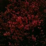 夜桜 夜桜 - from Brightkite
