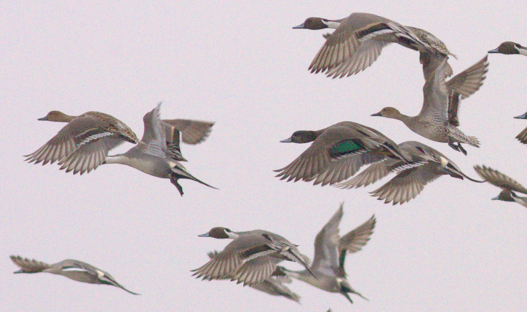 Northern Pintail x Mallard hybrid - New York