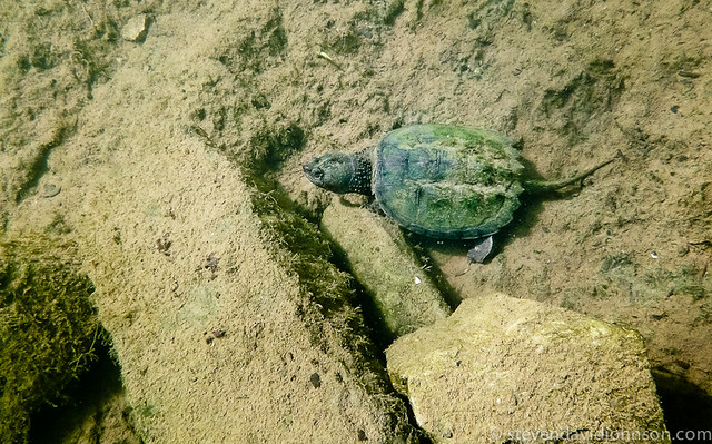 Turtle, Under the Shenandoah, North Fork