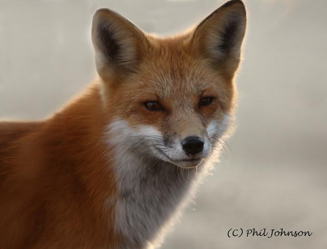 Will A Fox Kill A Small Dog